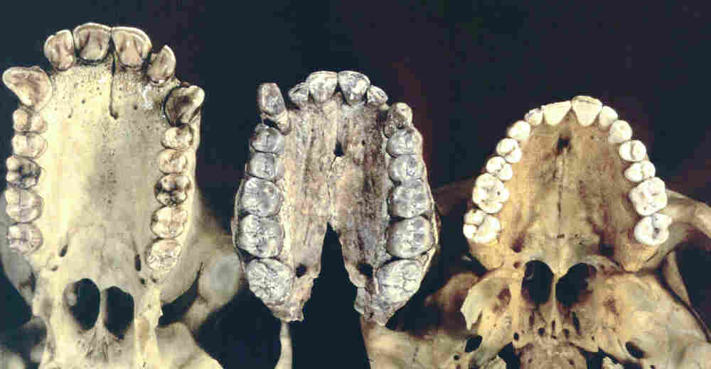 Nom Nom Nom: From left, a cast of teeth from a chimpanzee, Australopithecus afarensis and a modern human. We switched from an ape-like diet of fruits and leaves about 3.5 million years ago, according to fresh research. There's evidence that meat-eating came about a million years or so later.