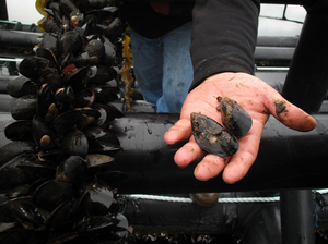 Mussels thrive on particles that come from fish waste. The mussels help clear the water and reduce the environmental impact of fish farms. Canada's federal food agency has certified them as safe for human consumption.