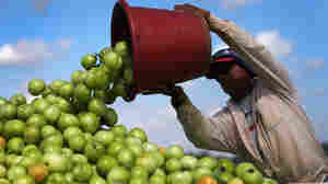 A worker dumps a bucket of tomatoes into a trailer in Florida City, Fla. Much of the lost and wasted weight in fruits and vegetables is water, according to a report by the World Resources Institute.