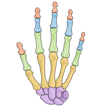 The bones of the human hand are colored by their various types. The small bones at the fingertips, red, are the only ones that can regenerate.
