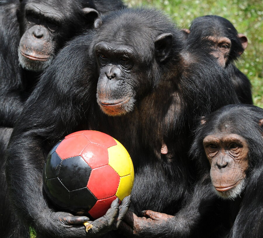 U s to recommend listing all chimpanzees as endangered