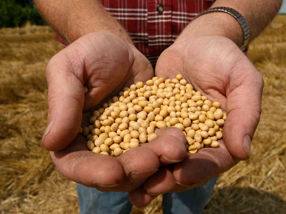 A farmer holds  Monsanto's Roundup Ready soybean see
