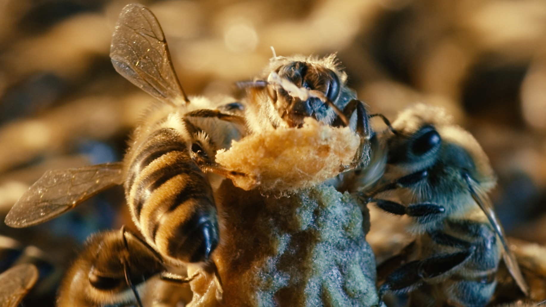'More Than Honey' Sees A World Without Bees
