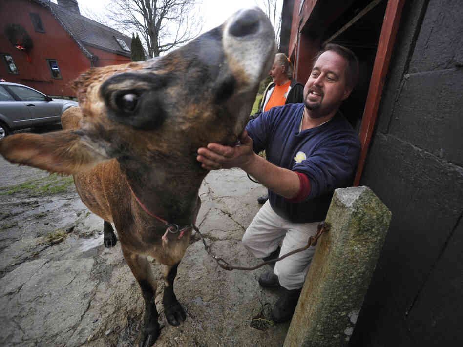 "Dan Brown pets ""Sprocket,"" his family's 4-year-old, sole milking cow, before hosing her down at his farm in Blue Hill, Maine. Brown has become the poster child for Maine's food sovereignty movement."