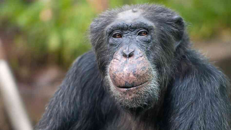Chimpanzee Toni celebrated his 50th birthday at the Hellabrunn Zoo in Munich on Nov. 22, 2011.