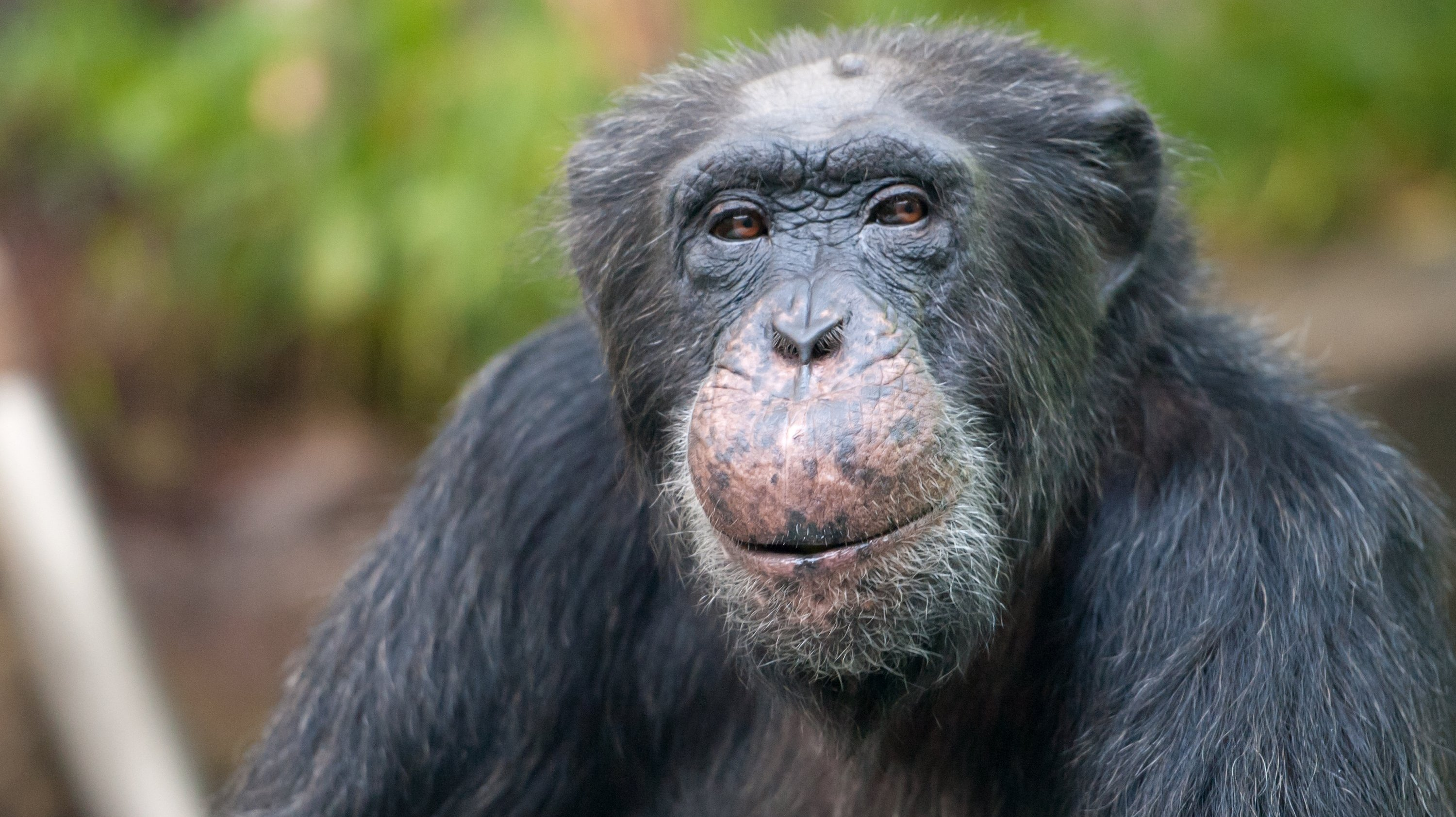 Rule Would List All Chimps As Endangered, Even Lab Animals