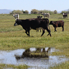 Cattle stand in a heavily irrigated pasture in Oregon's Upper Klamath Basin. The state has ordered ranchers in the region to shut down irrigation. The move is aimed at protecting the rights of Indian tribes who live downstream.