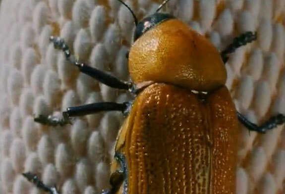 Female beetle