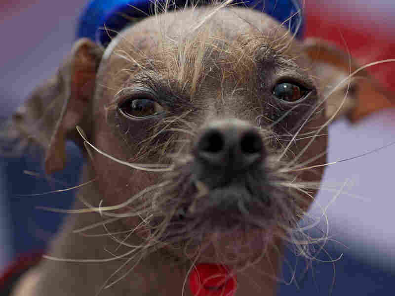 We think Mugly, an 8-year-old Chinese crested, should have been a contender!