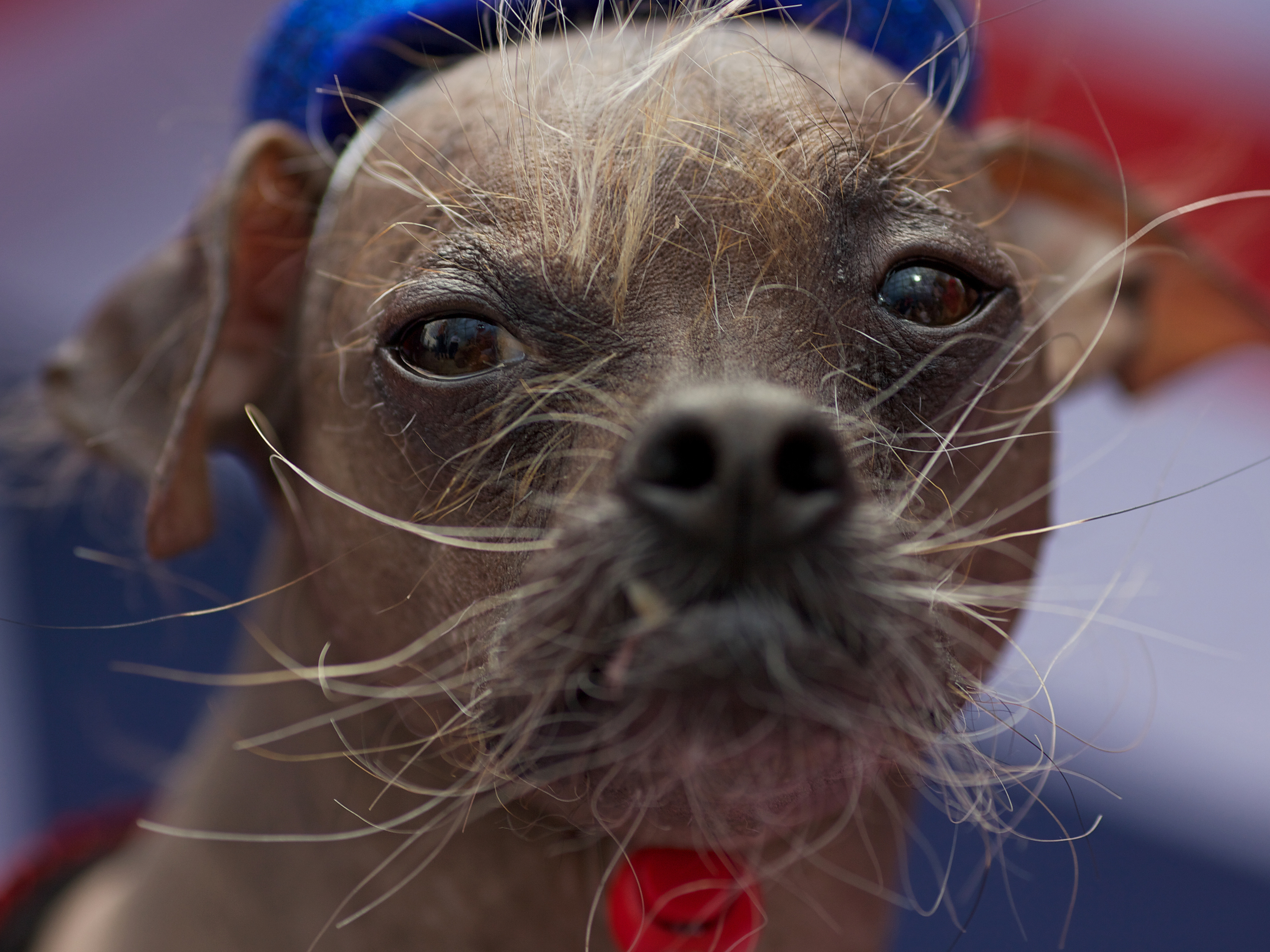 Is This Dog Really That Ugly? : The Two-Way : NPR