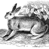 'The Hare' Leads A Merry Chase