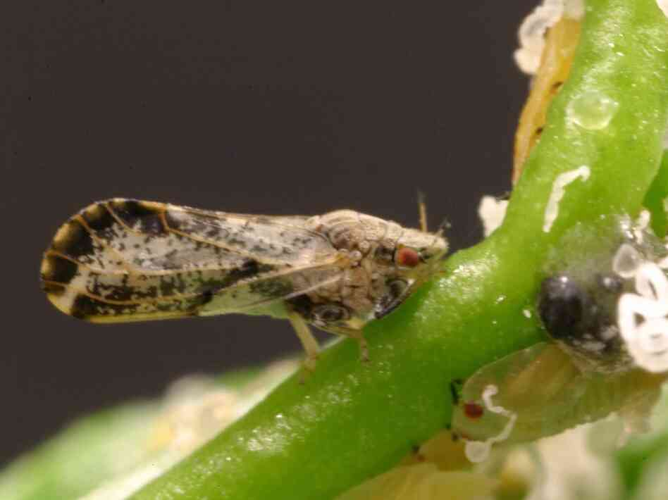 The psyllid, discovered eight years ago in Florida citrus groves, has bee