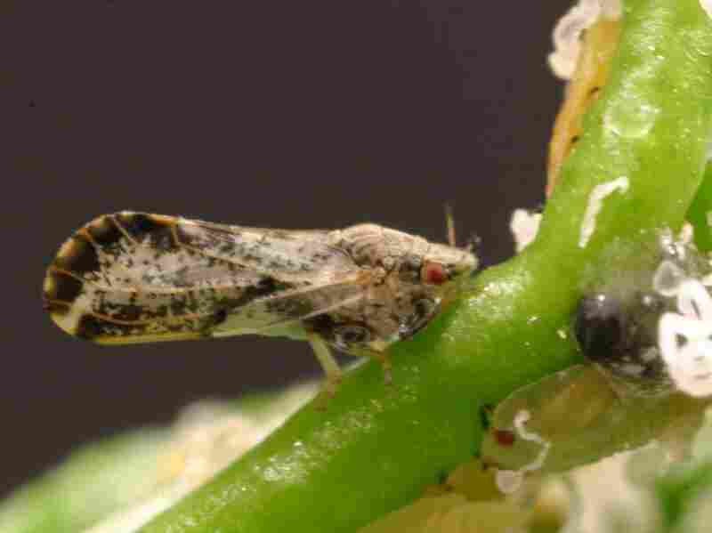 The psyllid, discovered eight years ago in Florida citrus groves, has been problematic for researchers and farmers alike.