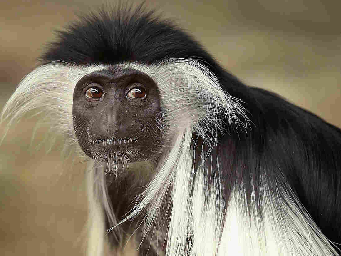 Olivia, a 5-year-old Angolan colobus monkey, at the Brookfield Zoo near Chicago.