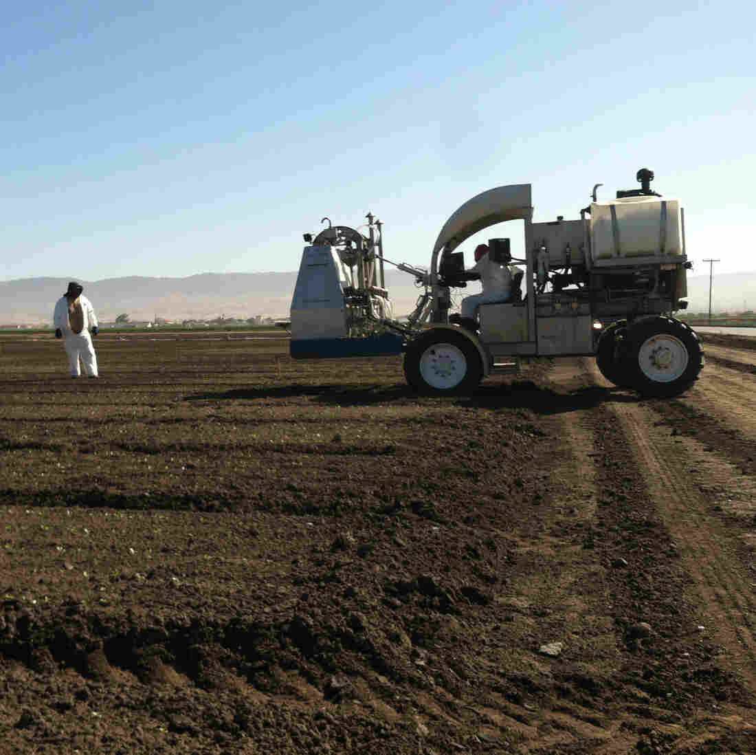 A lettuce thinner  manufactured by Ramsay Highlander removes excess seedlings from the field so that others have room to grow. Just one worker is required to operate the machine.