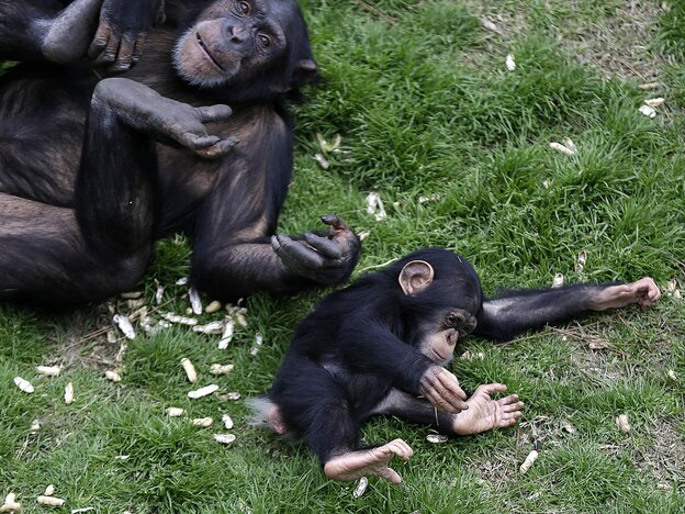 Chimpanzees play at Chimp Haven, a retirement home for former research animals, in Keithville, La.