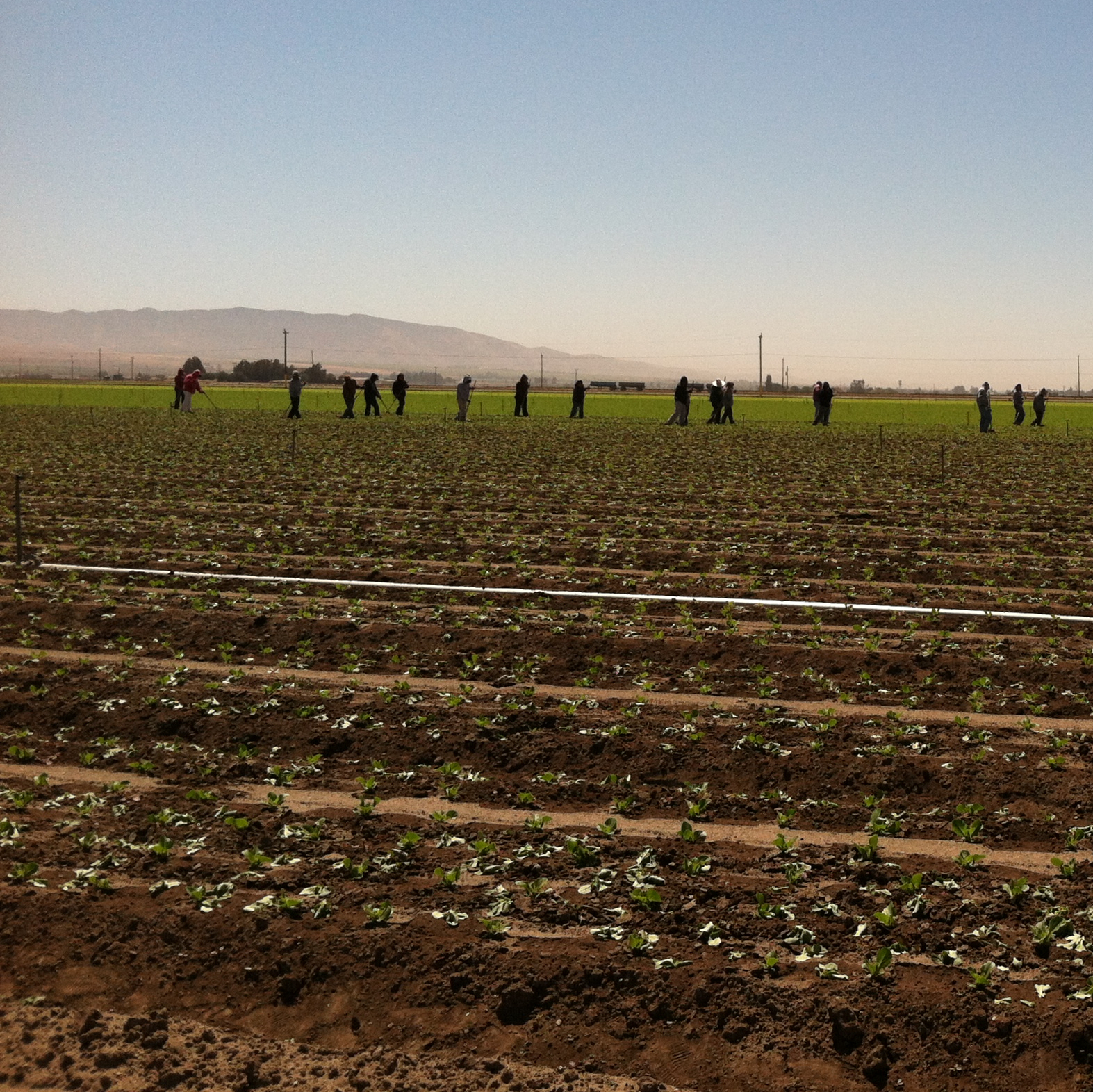 Thinning a field of lettuce without a robot requires a crew of 20 who do the same task with long-handled hoes.