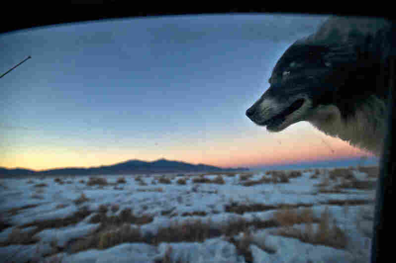 Tippy the border collie rides in the back of Dave Baker's truck as he prepares the ranch for the day.