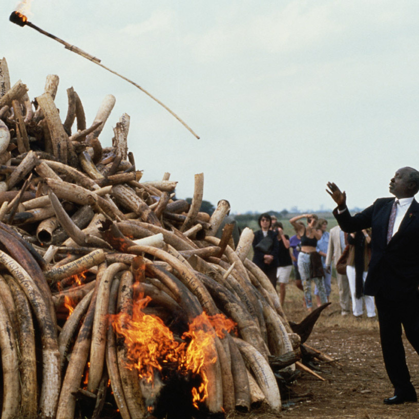 President Daniel arap Moi ignites $3 million of elephant ivory and rhino horn confiscated from poachers by Kenya National Park game wardens in Nairobi, Kenya, in October 1989.