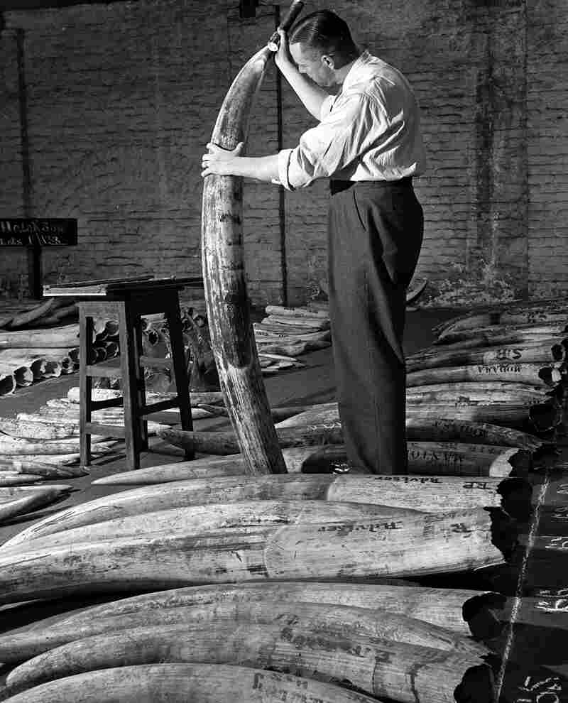 A man checks the quality of ivory stocks before an auction at the London docks in January 1948.