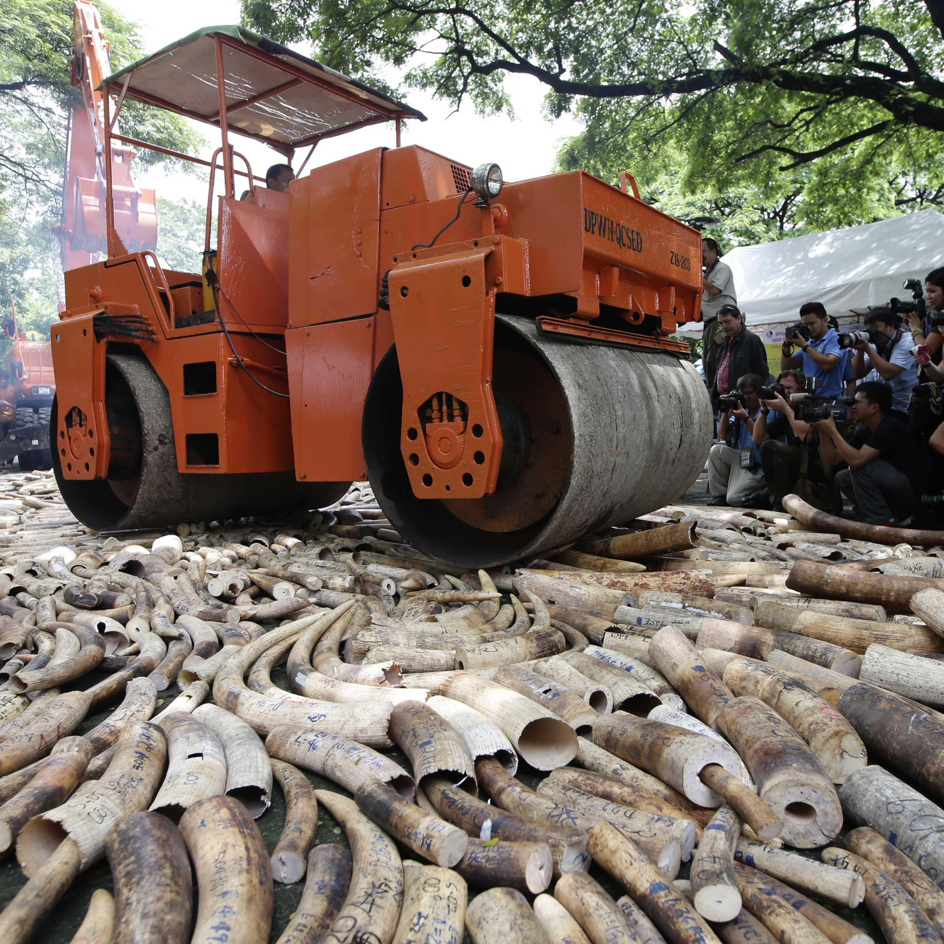 Seized elephant tusks are crushed with a steamroller during a ceremony at the Protected Areas and Wildlife Bureau of the Department of Environment and Natural Resources in Quezon City, northeast of Manila, Philippines, on June 21.