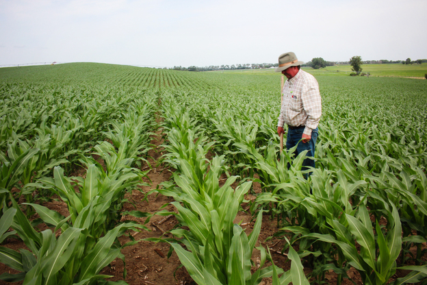 Crop consultant Dan Steiner inspects a field of corn near Norfolk, Nebraska