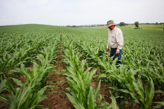 Crop consultant Dan Steiner inspects a field of corn near Norfolk, Neb.