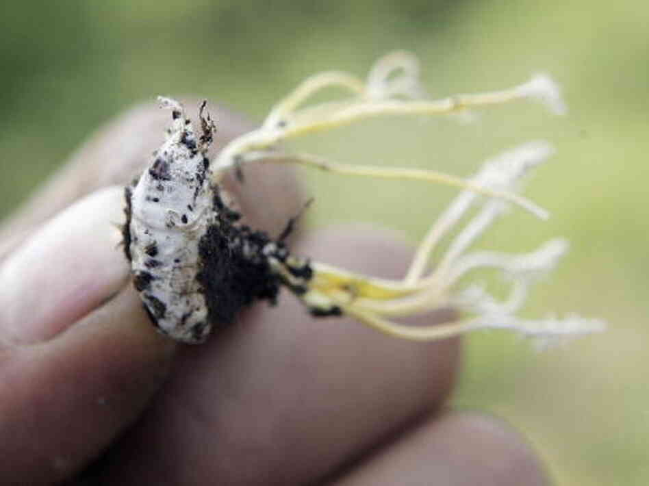 The Cordyceps fungus invades its insect hosts, replacing their innards in order to reproduce itself.