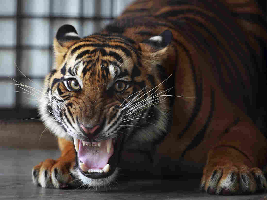 A Sumatran tiger at the Sumatra Tiger Rescue Center near Bandar Lampung on the southern tip of Sumatra island