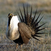 A male sage grouse displays during a lek, or mating ritual, in Montana. The U.S. Fish and Wildlife Service will decide within two years whether to add the bird to the endangered species list.