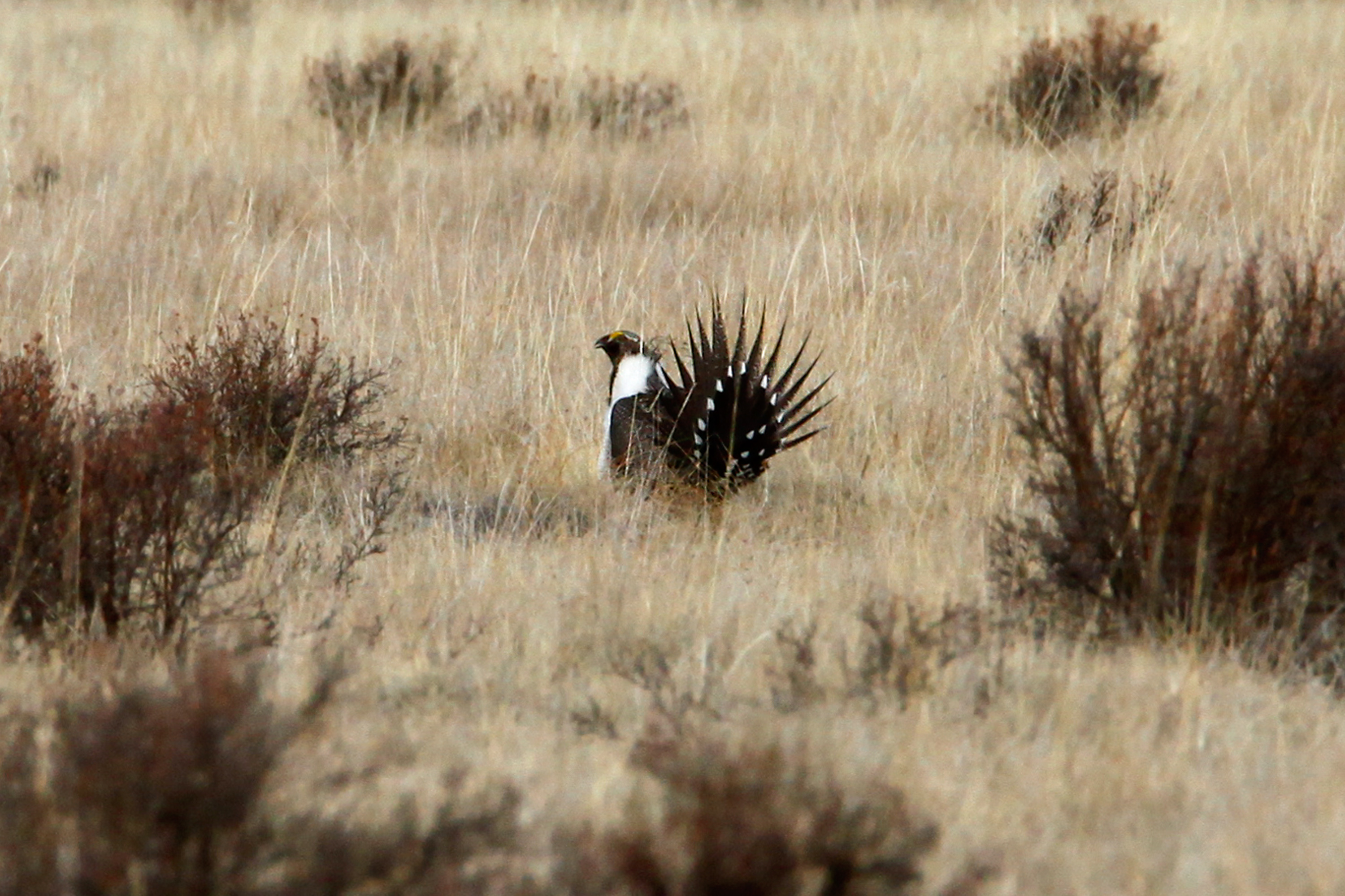 A male sage grouse displays his tail feathers in an effort to attract females.