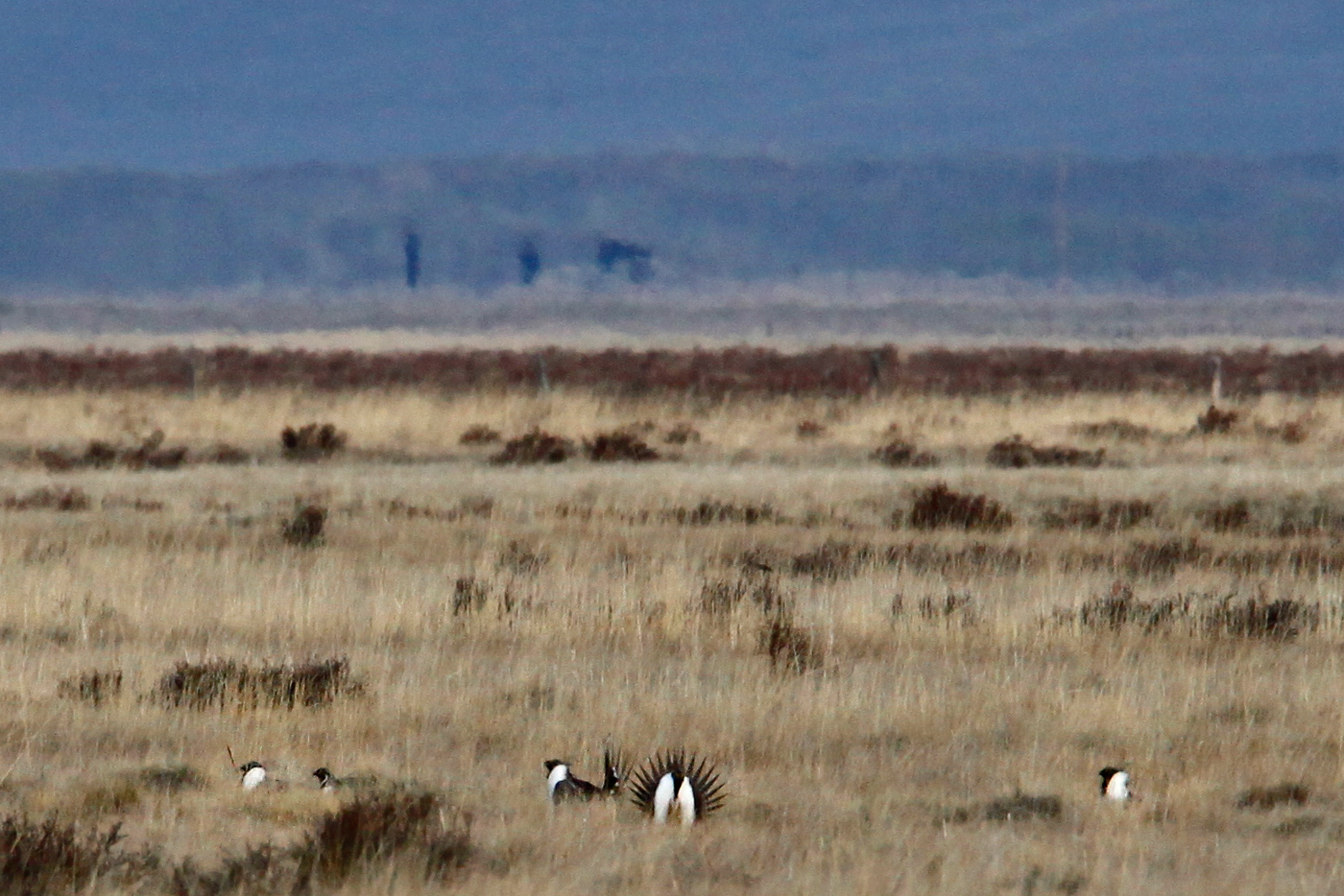 Male sage grouse strut in a lek in the open prairie. The birds return to the same lek areas year after year.