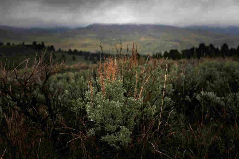 Sagebrush supplies the sage grouse with a steady food supply and shelter. The birds cannot live without it.