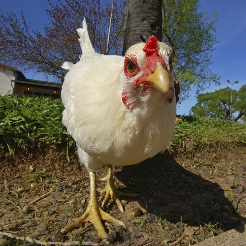 Here's The Case For More Rules For Backyard Chickens : The
