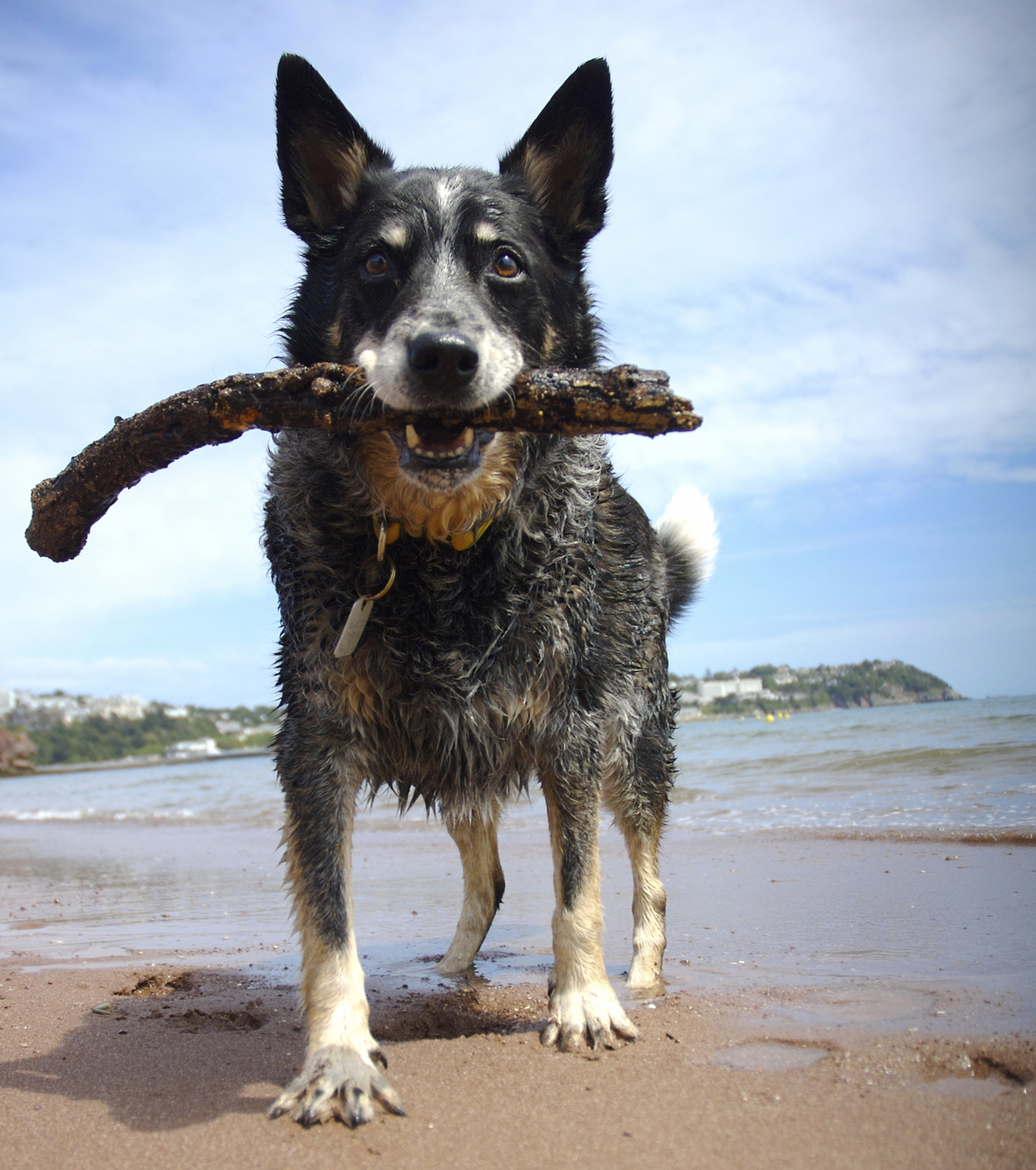 A dog stands on a beach with a stick in its mouth.