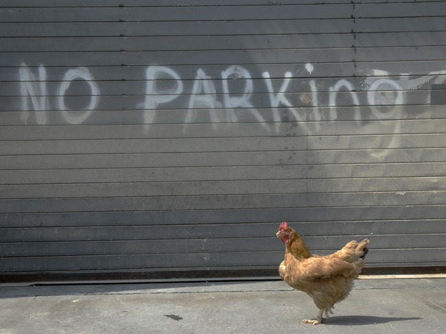 Move along fella: Many cities are opening their doors to egg-laying hens but not crowing roosters.