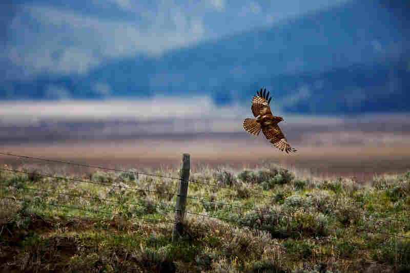 A red-tailed hawk takes flight in the wilds of Montana.