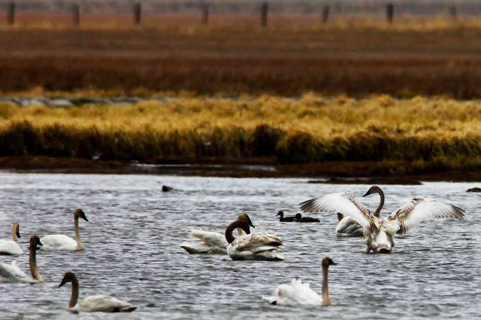 Trumpeter swans cruise a lake in Centennial Valley. Swan populations recovered
