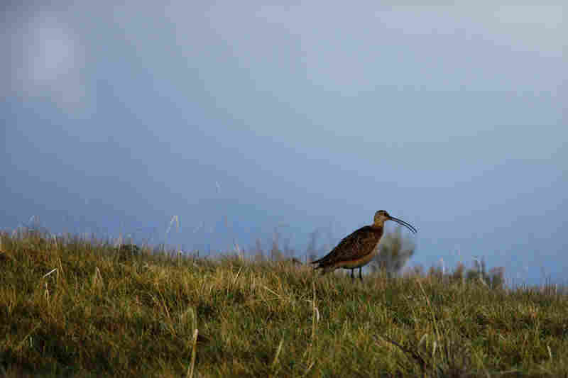 The rare long-billed curlew thrives in the Centennial Valley.