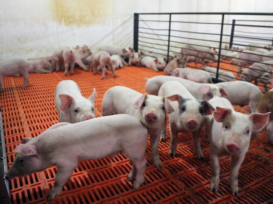 These pigs, newly weaned from their mothers, are at their most vulnerable stage of life. They're getting antibiotics in their water to ward off bacterial infection. (NPR)