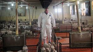 Craig Rowles tends to his pigs in a barn near Carroll, Iowa.
