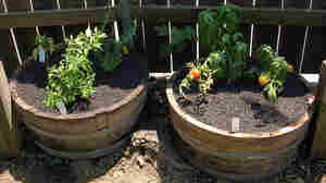 Tomatoes and herbs grow in barrels in this urban micro-garden.
