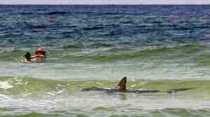 Cue the Jaws theme: A hammerhead shark in the shallow Gulf of Mexico waters of Seagrove Beach, Fla., on Monday.