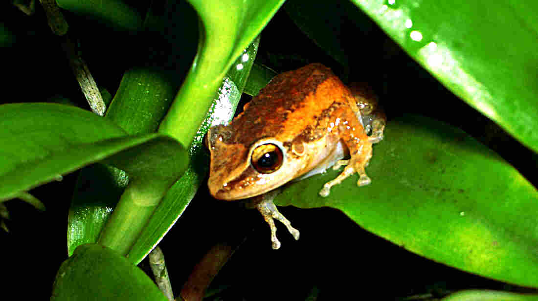 The Puerto Rican coqui frog's distinctive co-QUI changes tone from region to region.