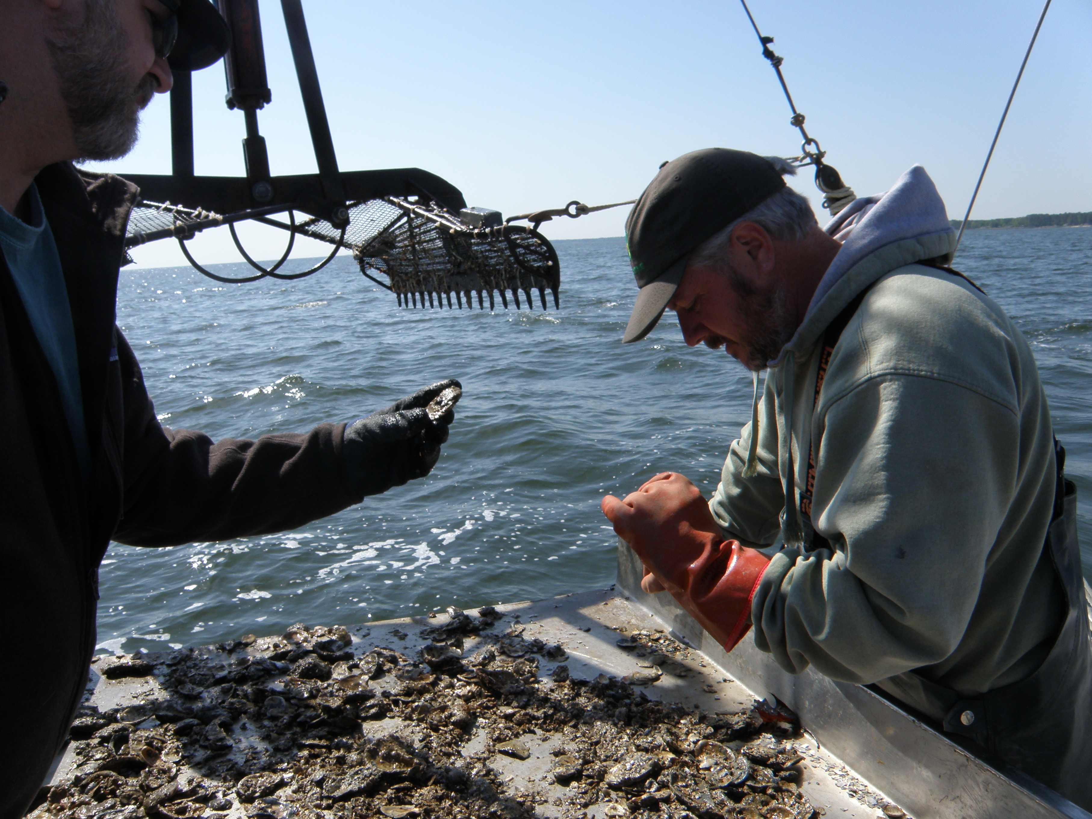 A scientist and a waterman examine oysters hauled up from the Potomac River, which flows into the Chesapeake Bay.