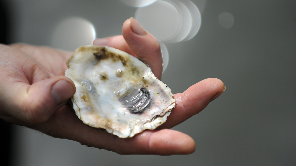 Young oysters live on old oyster shells and slowly mature while forming a complete shell.