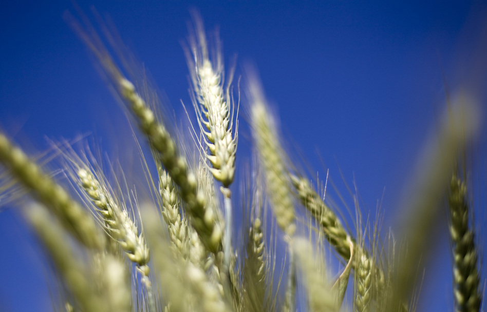 Wheat grows in a test field at Oregon State University in Corvallis. Some scientists believe that there's a chance that genetically modified wheat found in one farmer's field in May is still in the seed supply.