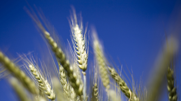 Wheat grows in a test field at Oregon State University in Corvallis. Some scientists believe that there's a chance that genetically modified wheat found in one farmer's field in May is still in the seed supply. (Bloomberg via Getty Images)