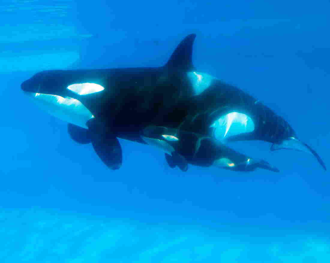 In a photo released by SeaWorld San Diego, Kasatka, a killer whale who is approximately 37 years old, swims with her newborn calf in February 2013.