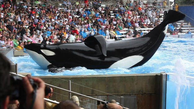 "Tilikum, a 6-ton orca who has killed two of his SeaWorld trainers, is the main subject of Blackfish, a documentary that describes itself as ""a psychological thriller with a killer whale at its center."""